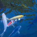 Photos: 百済寺(2)金色の鯉