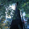 Photos: 樹齢400年の杉  百済寺(4)