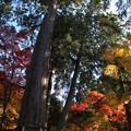 Photos: 樹齢1000年の夫婦杉 西明寺(3)