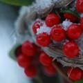 Photos: 雪 カラタチバナ