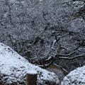 兼六園 春を待つ桜の木