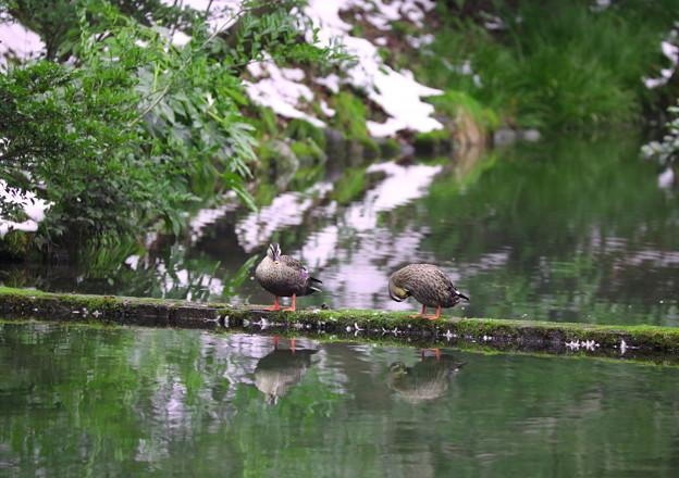 瓢池のカルガモさん