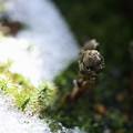 福寿草 つぼみと早春の雪(1)