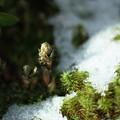 福寿草 つぼみと早春の雪(2)