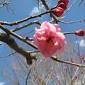 Photos: もう春はそこに・・・(紅梅編)