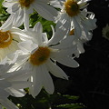 Photos: 日差しに咲く