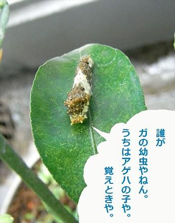 ナミアゲハ幼虫
