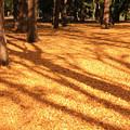 銀杏林の絨毯