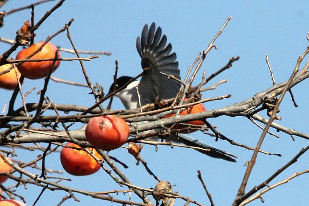 Photos: オナガも柿が好き