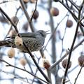 ハンカチの木の実を食すヒヨドリ