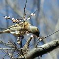 Photos: アトリの食事は秋楡の種