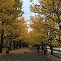 Photos: 11月9日 昭和記念公園 カナール噴水のいちょう並木道見頃。。