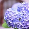 Photos: 北鎌倉 雨季の明月院 紫陽花・・?