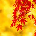 11月30日 紅葉