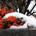 Photos: 雪とピラカンサ