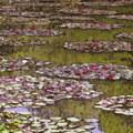 Photos: モネの庭 睡蓮の池