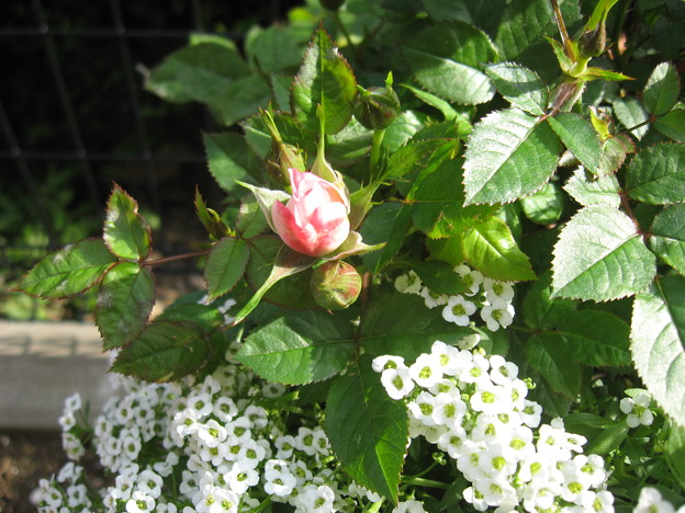 写真: 念願の薔薇の蕾