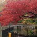 雨の紅葉   おまけ付き
