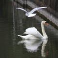 カモメと白鳥さん