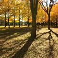 Photos: 歴史館の銀杏並木