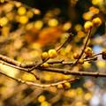 Photos: 冬を彩る ~Yellow bud~
