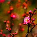 Photos: 小梅  ~Small plum~