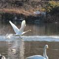 26.12.28松ヶ丘河川公園の白鳥