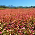 八ヶ岳の見える赤そば畑