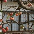 柿のある家