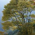 紅葉始まる欅